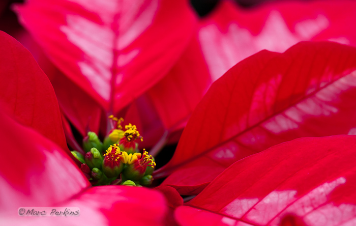 """A closeup of a poinsettia flower cluster from the side. Many people confuse the bracts (red and white leaves on this """"Ice Punch"""" poinsettia) with the petals of flowers; they're quite different.   This macro shot shows a number of bracts (colored leaves associated with a flower) surrounding the flowers (green, red, and yellow structures) and extending out of the frame.  The flowers themselves are called cyanthia; the green tissue surrounding each flower is an involucre, a cluster of bracts (leaves) fused into a cup-shaped structure that contains multiple male flowers and one female flower within it.  Emerging from the involucre you can see red filaments supporting yellow anthers on the male flowers; a single female flower should be emerging from the center of each flower.  The bright yellow structures attached to the involucre are nectar glands filled with yummy sweet nectar to attract pollinators; on less-developed flowers they look like little light-green lips. (Marc C. Perkins)"""