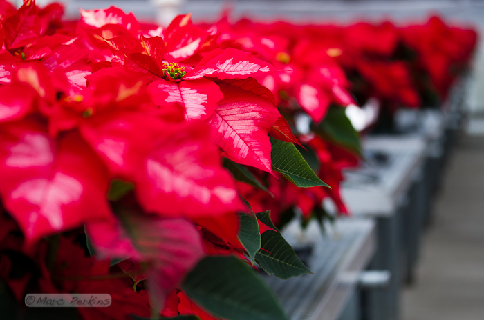 A small portion of one of five greenhouses in Orange Coast College's Horticulture Department that are filled with poinsettias being grown for their annual 2011 poinsettia sale.  This image focuses on a single ice punch poinsettia, highlighting how the red and white leaves are nothing more than bracts - colored leaves grown near a flower.  The actual flowers are the green, red, and yellow structures at the top of the plant (end of the stem). (Marc C. Perkins)